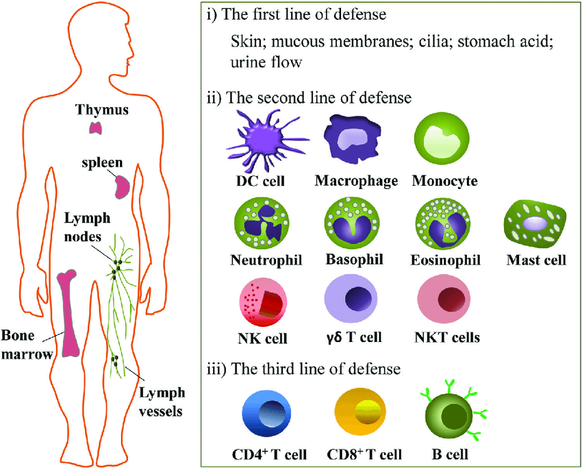The-immune-systems-Human-body